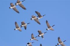 Gees flock Stock Photo