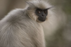 Gees Golden Langur. Captured in Umananda Island near Guwahati in India Stock Image