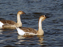Geese. Pair of geese swimming along royalty free stock photo