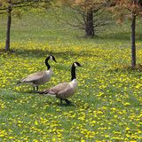 Geese. Two geese enjoying a stroll in a dandelion field Stock Images