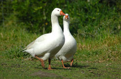 Geese. An active white goose and a wild goose make a two geese couple relationship expecting their goslings. These are best friends walking together on an egg Stock Image