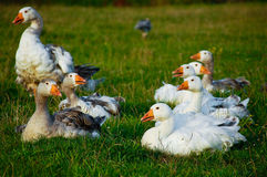 Geese. Flock of white and brown geese in green background royalty free stock images