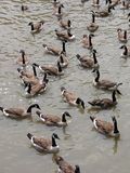 Geese. Canadian geese Stock Photo