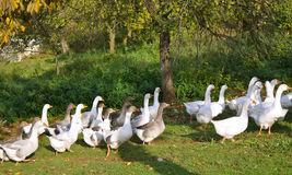 Geese. For Martinmas (Martini Stock Photography