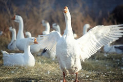 Geese Stock Photos