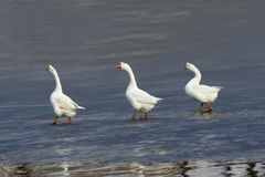 Geese Royalty Free Stock Image