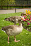 Geese. A couple of geese eating grass in the park stock image