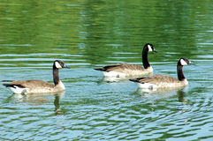 Geese. Three geese swim in the early morning coolness of the pond at the farm stock photography