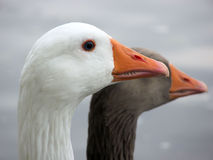 The geese. The wild geese on a lake Royalty Free Stock Photo