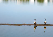 Geese. On band of dirt in water Stock Photos