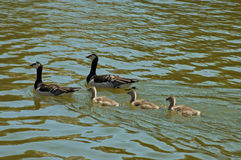 Geese. Two geese with their offsprings swimming Royalty Free Stock Photography