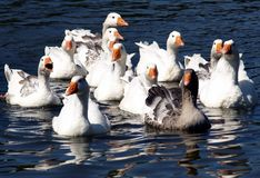 Geese. Pack of geese swimming with fun on the water Royalty Free Stock Photography