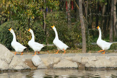 Free Geese Stock Images - 34793514
