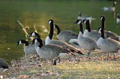 Geese. Canadian geese entering water during their migration season Royalty Free Stock Photo
