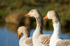 Free Geese Royalty Free Stock Photo - 39134265