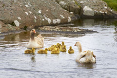 Geese and 4 day old gooslings swimming in pond. Calm water Stock Photos