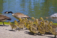 Geese and 4 day old gooslings swimming in pond Royalty Free Stock Image