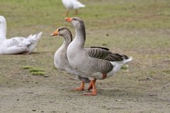 Geese. Standing on one foot royalty free stock images