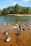 Geese湖 库存照片