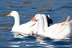The geese. Three geese that swim on a lake Royalty Free Stock Image