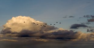 Geese. A flock of geese against white clouds and a blue sky Royalty Free Stock Photos