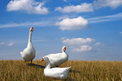 Geese. Three white geese in the field Stock Image