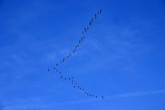 Geese. In V stock photography
