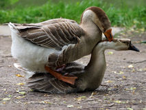 Geese in the act of mating. Royalty Free Stock Photo
