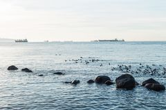 Geese along Vancouver shore. A flock of geese and silhouetted rocks along the shore of Vancouver Royalty Free Stock Photography