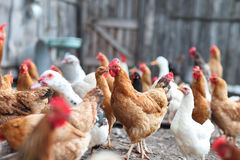 Free Geese And Chicken On The Farm Royalty Free Stock Photo - 61647825