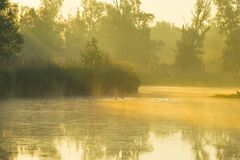Geese And Goslings Swimming Along The Edge Of A Misty Lake Below A Yellow Blue Sky In Sunlight At Foggy Sunrise In A Spring Mornin Stock Photos