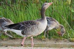 Geese (Anser anser) Stock Photos