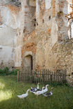 Geese in the area of old fortress. Geese in the area of medieval stone fortress Royalty Free Stock Photography