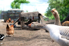 Geese arguing. Two geese arguing with chickens in the yard Stock Photography