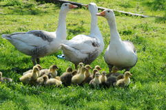 Geese At Free Range Farm Royalty Free Stock Photography