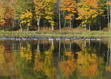 Geese on the Autumn Lake Stock Photo
