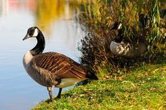 Geese in autumn. In the park Angrignon montreal Stock Photography