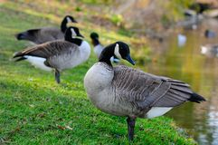 Geese in autumn. In the park Angrignon montreal Royalty Free Stock Images
