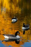 Geese in autumn. In the park Angrignon montreal royalty free stock image
