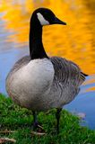 Geese in autumn. In the park Angrignon montreal stock images