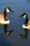 Geese in autumn. In the park Angrignon montreal royalty free stock photos