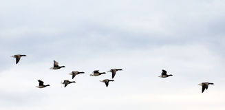 Geese on autumn sky Royalty Free Stock Photos