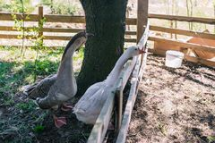 Geese in the aviary. Waterfowl duck family. White and gray goose. Poultry on the street. Farm for raising animals. Geese in the aviary. Waterfowl duck family royalty free stock photography