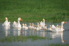 Geese with babies Stock Photos