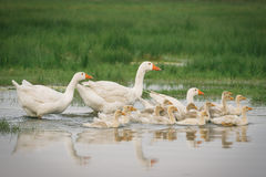 Geese with babies Stock Images