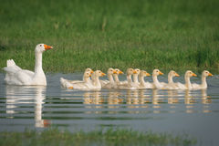 Geese with babies Royalty Free Stock Photography