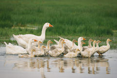 Geese with babies Stock Image