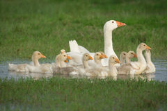 Geese with babies Stock Photo
