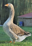 Geese in backyard Royalty Free Stock Photo