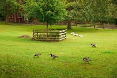 Geese in backyard of house Stock Photos